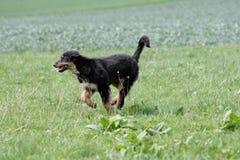 Cão running selvagem do hovawart Imagens de Stock Royalty Free