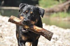 Cão sério com vara Fotografia de Stock Royalty Free