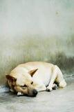 Cão só sonolento Fotografia de Stock