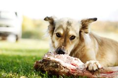 Cão salvado que cheewing um osso da carne fotos de stock royalty free