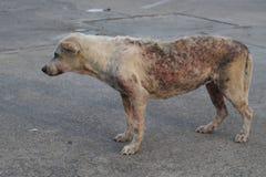 Cão sarnento pobre fotografia de stock