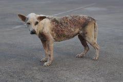 Cão sarnento pobre fotografia de stock royalty free