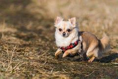 Cão saudável pequeno da chihuahua na corrida Fotografia de Stock
