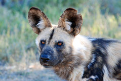 Cão selvagem Imagem de Stock Royalty Free