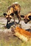 Cão selvagem Fotografia de Stock Royalty Free