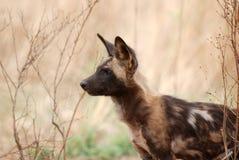 Cão selvagem Foto de Stock Royalty Free