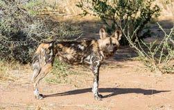 Cão selvagem africano 2 foto de stock royalty free