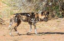 Cão selvagem africano 10 Fotos de Stock Royalty Free