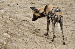 Cão selvagem africano Imagens de Stock