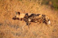 Cão selvagem africano Imagens de Stock Royalty Free