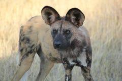 Cão selvagem africano fotografia de stock