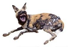 Cão selvagem africano isolado que mostra seus dentes imagens de stock royalty free