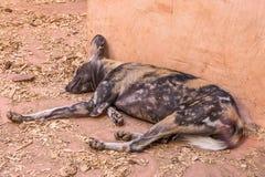 Cão selvagem africano, jardim zoológico Imagens de Stock Royalty Free