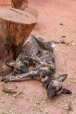 Cão selvagem africano, jardim zoológico Fotos de Stock Royalty Free