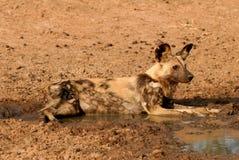 Cão selvagem africano que coloca na água enlameada Fotos de Stock Royalty Free