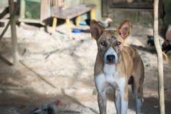 Cão selvagem da praia de Filipinas Fotografia de Stock Royalty Free