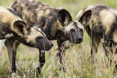 Cão selvagem em África do Sul Imagens de Stock Royalty Free