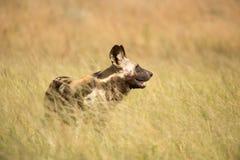 Cão selvagem nas pastagem Imagens de Stock Royalty Free