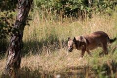 Cão selvagem no campo Fotos de Stock Royalty Free