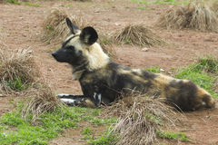 Cão selvagem pintado africano (pictus de Lycaon) Foto de Stock
