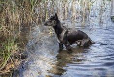 Cão selvagem preto grande que sai do lago Fotos de Stock Royalty Free