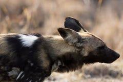 Cão selvagem raro no parque África do Sul de Kruger fotografia de stock royalty free