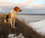 Cão sem um colar Fotografia de Stock