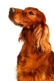 Cão - setter Fotografia de Stock Royalty Free