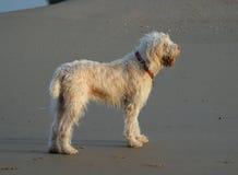 Cão Shaggy Fotografia de Stock
