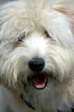 Cão Shaggy Imagens de Stock Royalty Free
