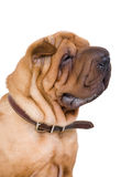 Cão - sharpei Imagem de Stock