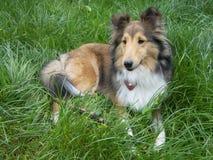Cão Sheltie Fotos de Stock