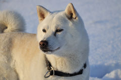 Cão Shiba Inu Foto de Stock
