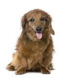 Cão sightless velho: Dachshund (15 anos velho) Imagem de Stock