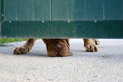 Cão sob a porta Foto de Stock