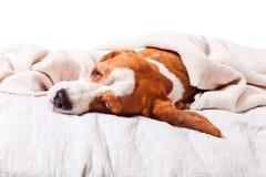 Cão sob uma cobertura no branco Fotos de Stock Royalty Free