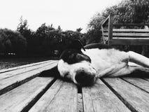 Cão sonolento Fotos de Stock Royalty Free