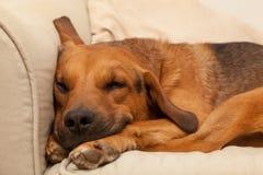 Cão sonolento bonito Imagens de Stock