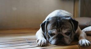 Cão sonolento com cara engraçada Imagem de Stock