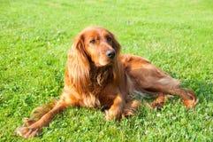 Cão - Spaniel Foto de Stock