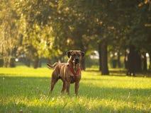 Cão/Stafford 2 Imagens de Stock Royalty Free