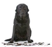 Cão sujo enlameado fotografia de stock royalty free