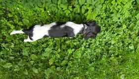 Cão superior Fotografia de Stock Royalty Free