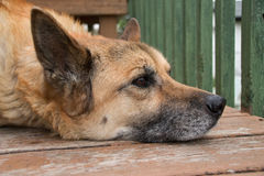 Cão superior de descanso de Shepkita Imagens de Stock