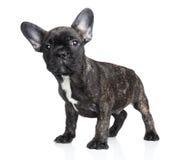Cão surpreendido Fotografia de Stock