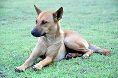 Cão tailandês Foto de Stock Royalty Free
