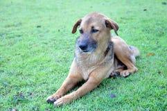Cão tailandês Fotografia de Stock