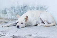 Cão tailandês Foto de Stock