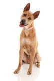 Cão tailandês de Ridgeback Imagem de Stock