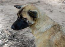 Cão tailandês & x28; dog& primitivo x29; na superfície Fotos de Stock